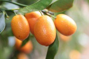 kumquats photo 2